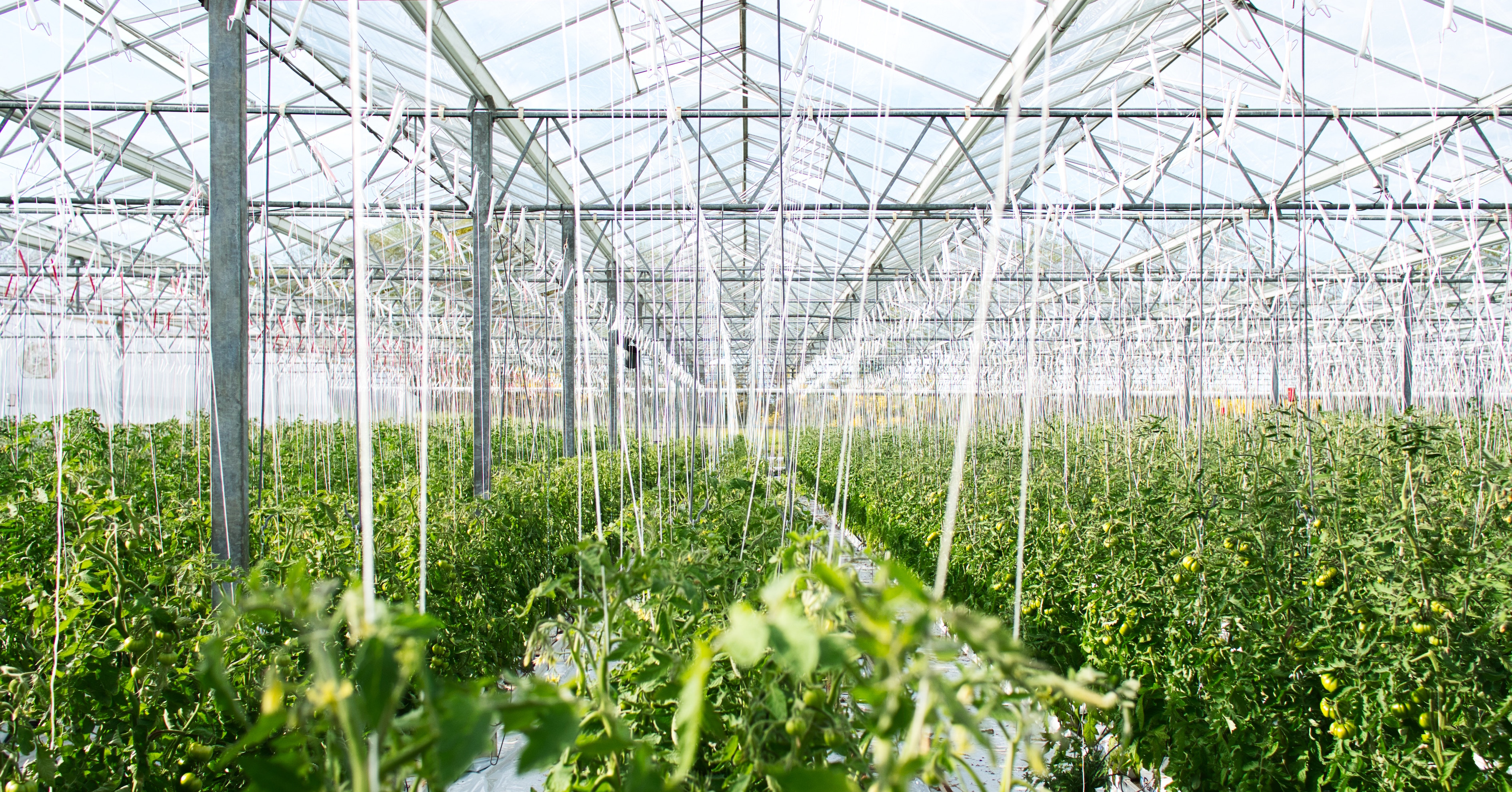 Greenhouse full of leafy vegetables
