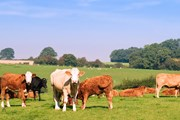 Cows in a field. The lessons from mad cow disease mustn't be forgotten, professor warns