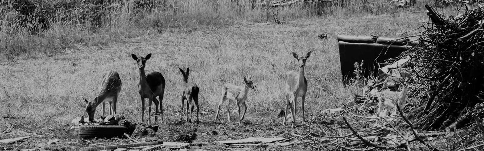 A herd of fawn deer