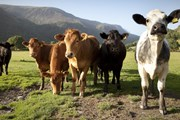 Cows in Snowdonia, Wales
